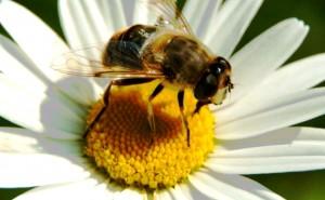 abeja-y-flor